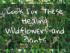 look for healing dandelions